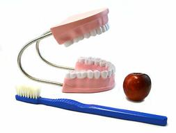 """Eisco Labs Oversized Dental Care Model with 14.5"""" Tooth Brus"""